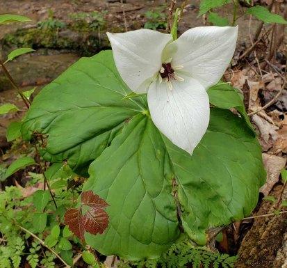 Sweet White Trillium (Trillium simile)