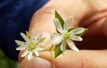 Giant Chickweed vs Tennessee Chickweed