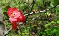 a Flowering Quince (Chaenomeles sp.)