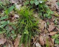 a Wood Rush (Luzula sp.)