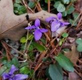 Arrow-leaved Violet (Viola sagittata)