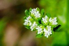 Beaked Cornsalad (Valerianella radiata)