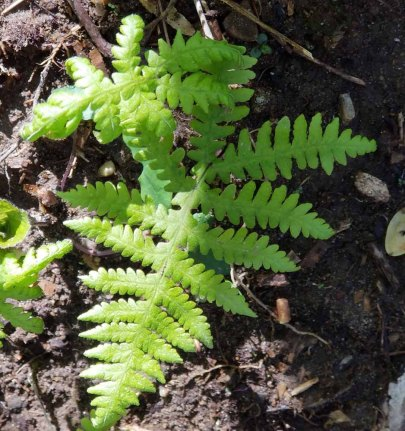 Broad Beech Fern (Phegopteris hexagonoptera)
