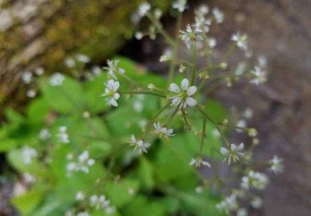 Brook Lettuce (Micranthes micranthidifolia)