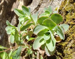 Cliff Orpine (Hylotelephium telephioides)