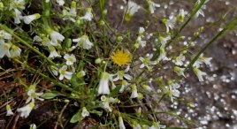 Dwarf Dandelion (Krigia virginica) Among the Sandworts