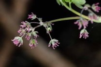 Early Meadow Rue-Female (Thalictrum dioicum)