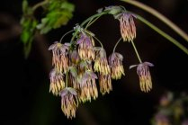 Early Meadow Rue-Male (Thalictrum dioicum)