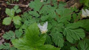 Fading Dutchman's Breeches (Dicentra cucullaria)
