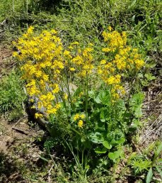 Golden Ragwort (Packera aurea) Plant