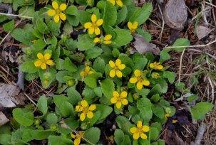 Green-and-Gold (Chrysogonum virginianum)