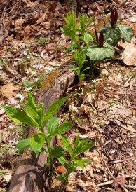 Green Violet (Hybanthus concolor)