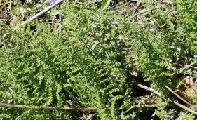 Hairy Lip Fern (Cheilanthes lanosa)