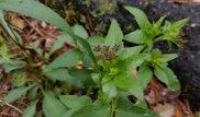 Heart-leaf Alexanders (Zizia aptera)