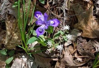 Iris - Chickweed Combo
