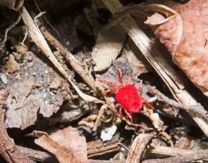 Itsy- Bitsy Red Bug. Possibly a Velvet Mite (Trombidiidae)