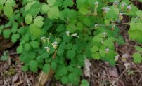 Male Early Meadow Rue (Thalictrum dioicum)