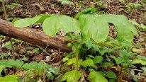 May Apple (Podophyllum peltatum) Bud