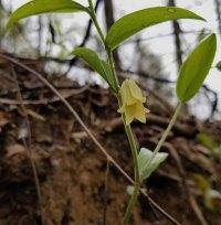 Mountain Bellwort (Uvularia puberula)