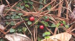 Partridge Berry (Mitchella repens) Berries