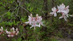 Pinxter Flower (Rhododendron periclymenoides)