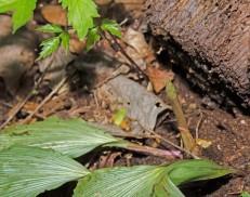 Puttyroot; Adam-and-Eve (Aplectrum hyemale)
