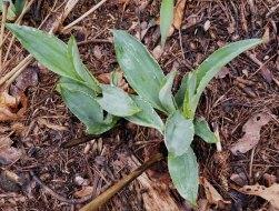 Rattlesnake Master (Eryngium yuccifolium)