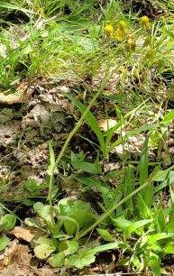 Roundleaf Ragwort (Packera obovata)