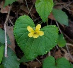 Smooth Yellow Violet (Viola pubescens v. scabriuscula)