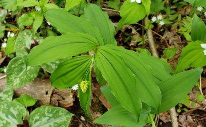 Solomon's Plume (Maianthemum racemosum) Bud
