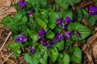 Southern Wood Violet (Viola hirsutula)