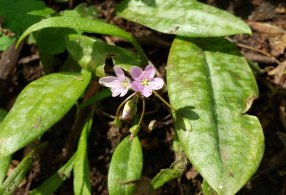 Spring Beauty (Claytonia virginica ) Among Trout Lily Leaves