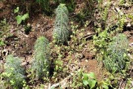 Standing Cypress (Ipomopsis rubra)