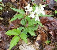 Toothwort (Cardamine diphylla)