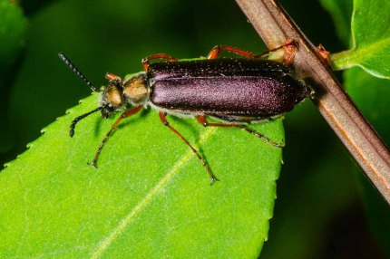 Unidentified Beetle - Possibly Ringo