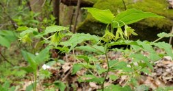 Yellow Mandarin Prosartes lanuginosa pl