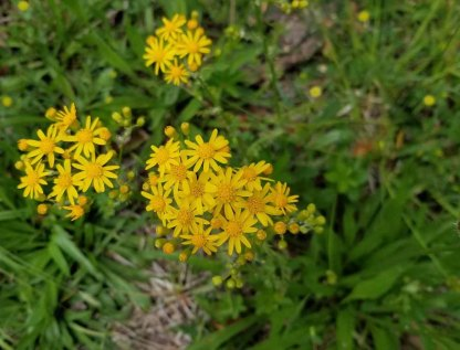 a Ragwort (Packera sp.)