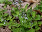Common Speedwell (Veronica officinalis*)