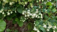 Deerberry (Vaccinium stamineum)