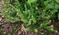 Peppergrass (Lepidium virginicum) Plant