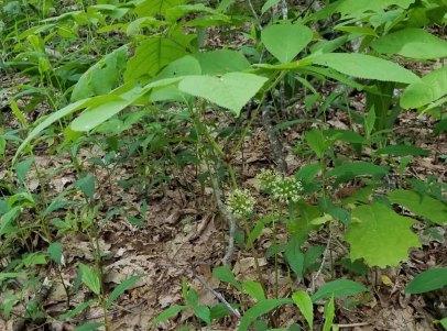 Wild Sarsaparilla (Aralia nudicaulis) Plant