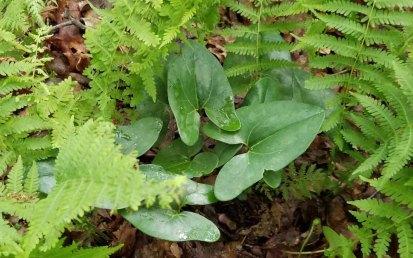 Little Brown Jugs (Hexastylis arifolia) Leaves
