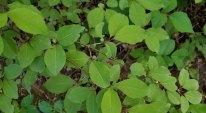 "Black Haw (Viburnum prunifolium). Note leaf ""ears"""