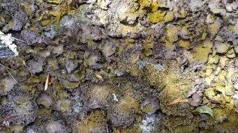 a Felt Lichen (Peltigera sp.)