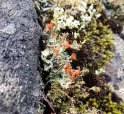 British Soldiers (Cladonia cristatella)