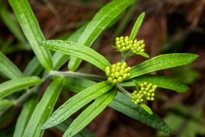 Probably Butterfly Weed (Asclepias tuberosa)