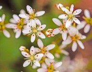 Carey's Saxifrage (Micranthes careyana)
