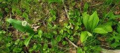 Clinton's Lily, White Clintonia (Clintonia umbellulata), Canada Mayflower (Maianthemum canadense), & Appalachian Bunchflower (Veratrum parviflorum)