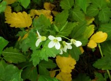 Crinkleroot; Toothwort (Cardamine diphylla)