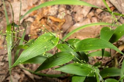 Deer-tongue Witch Grass (Dichanthelium clandestinum)